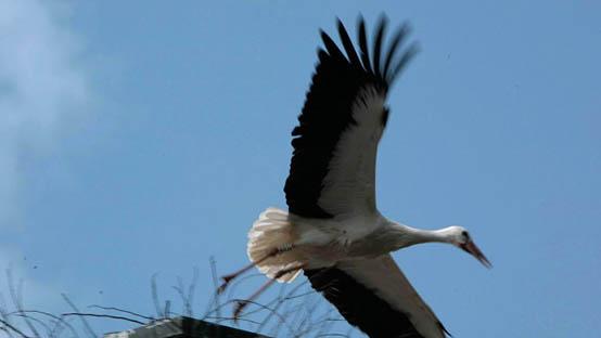 Ooievaar-wegvliegend